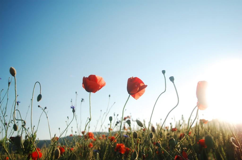 stockvault-red-poppy-meadow118132